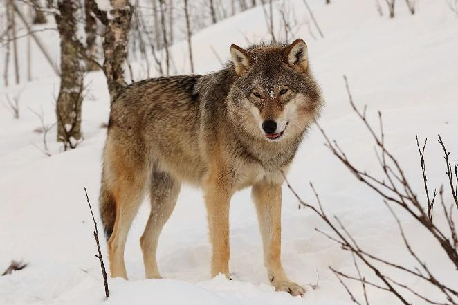 Grey Wolf / Native symbol of strength.