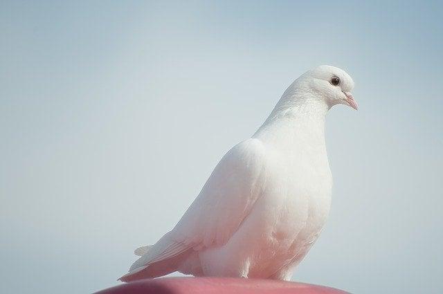 Flying dove / Bird peace symbol.