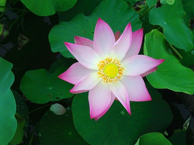 The lotus flower is a symbol of creation and rebirth.