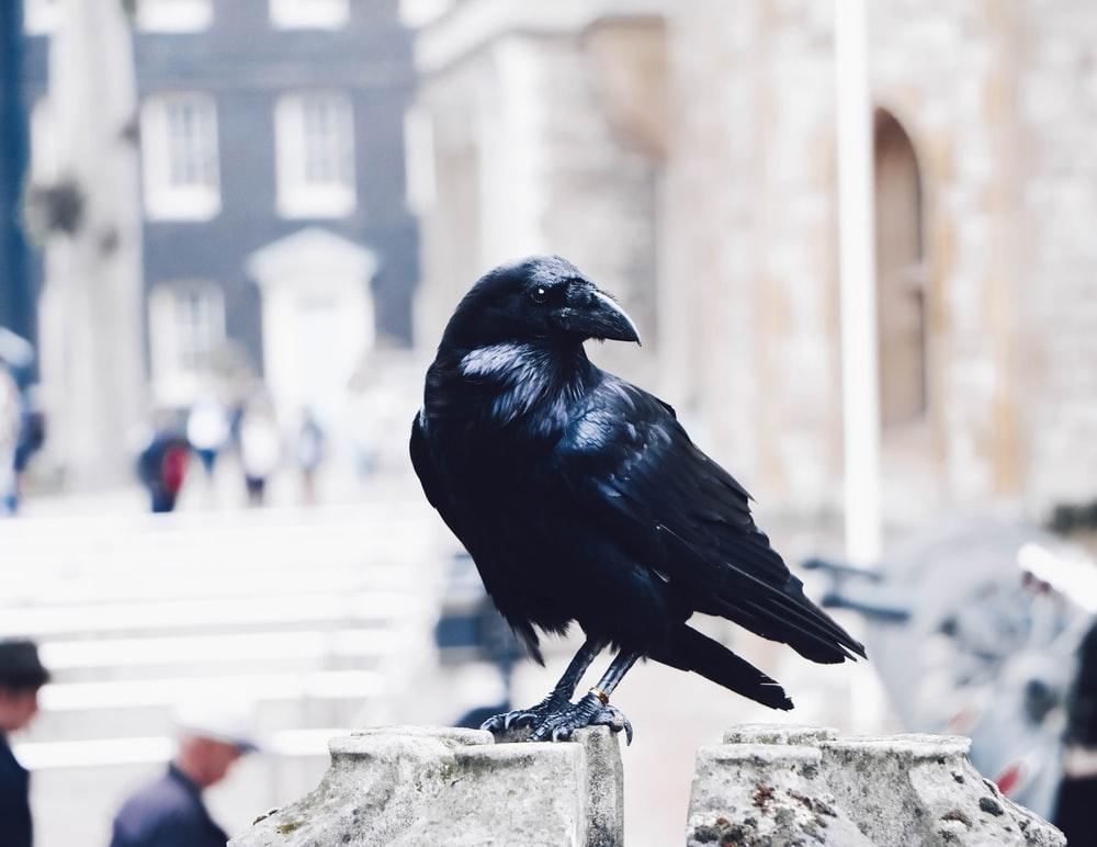 Ravens are probably the most famous birds in Norse mythology.