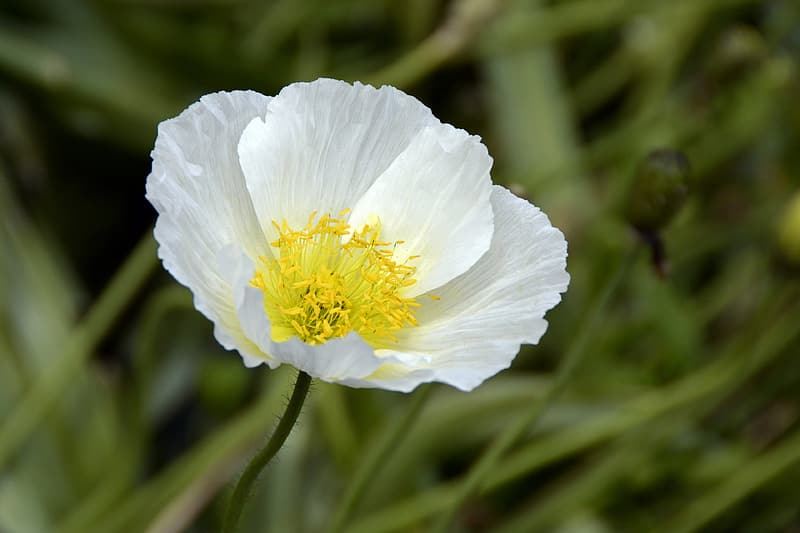 White Poppy / Anti-war flower symbol.