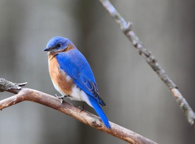 Mountain bluebird / European symbol of happiness.