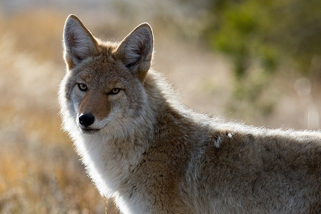 Coyote / Symbol of the trickster god.