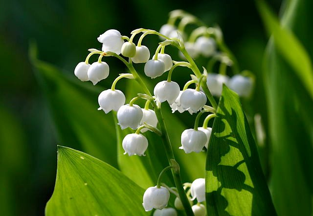 Lily of the valley / British symbol of happiness.