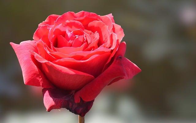 Rose / Symbol of Venus.