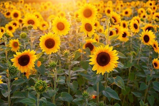 Sunflowers / Flower symbol of the sun.