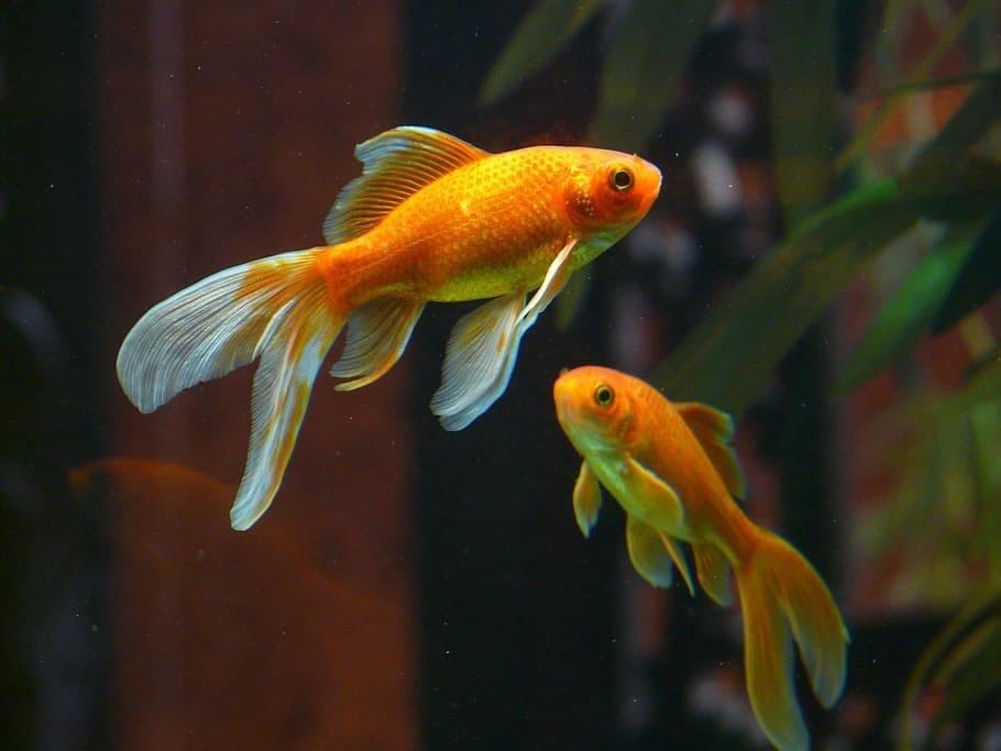 Two golden fish / Buddhist fish symbol.