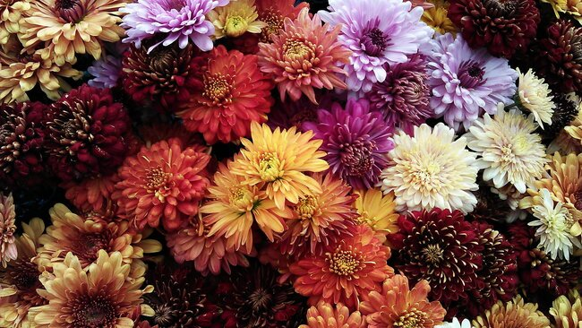A bunch of Chrysanthemums.