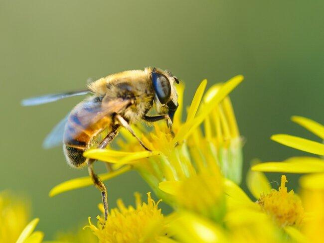 Bee sucking at nectar.