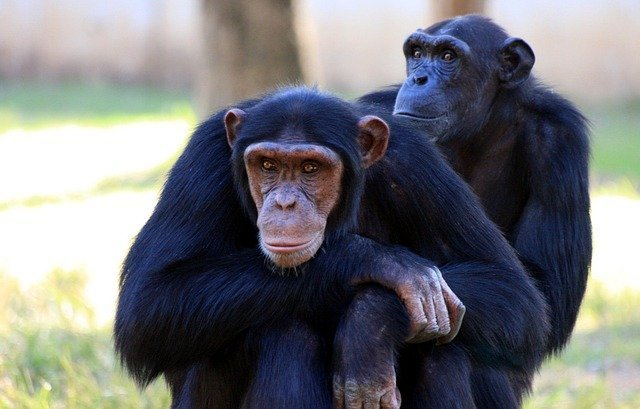 Chimpanzee closeup.