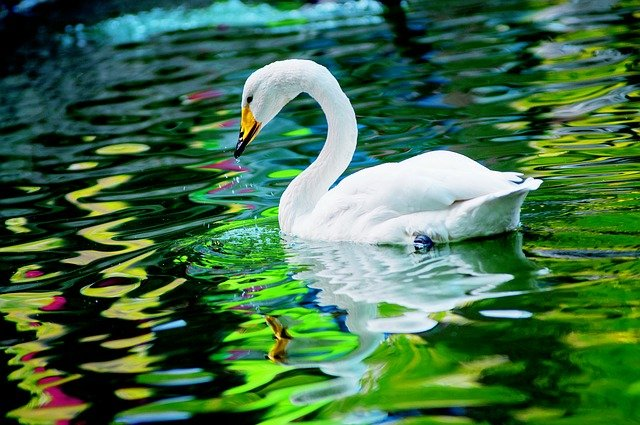 Swan in a pond.